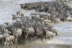 Wildebeest migration Stock Images