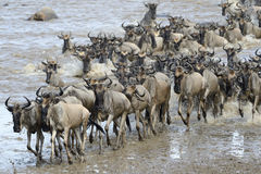 Wildebeest migration Stock Images