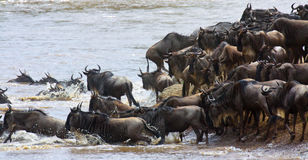 Wildebeest migration entering the river Royalty Free Stock Photography