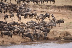 Wildebeest migration Royalty Free Stock Photo