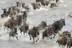 Wildebeest migration Royalty Free Stock Images