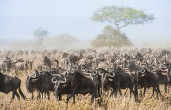 Wildebeest migration. The herd of migrating antelopes goes on dusty savanna. The wildebeests, also called gnus or wildebai, are a Royalty Free Stock Photo