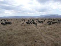 Wildebeest Migration Royalty Free Stock Photo