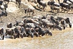 Wildebeest migration in Kenya royalty free stock photo