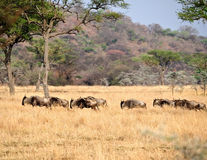 Wildebeest migration  in Kenya Royalty Free Stock Photo