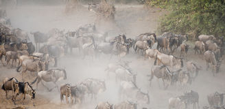 Wildebeest Migration in Kenya Royalty Free Stock Photography