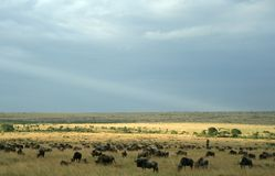 Wildebeest migration landscape Stock Images