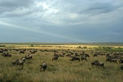 Wildebeest migration landscape Royalty Free Stock Photo