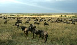 Wildebeest migration landscape Royalty Free Stock Image