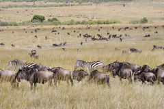 Wildebeest migration in Masai Mara. Royalty Free Stock Image