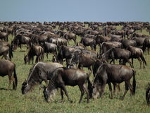 Wildebeest Migration in Masai Mara Stock Images