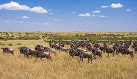 Wildebeest Migration, Masai Mara. Wildebeest looking at us during the 2012 great migration. Masai Mara National Park, Kenya Royalty Free Stock Images