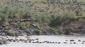 Wildebeest migration stock footage
