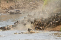 Wildebeest migration Royalty Free Stock Image