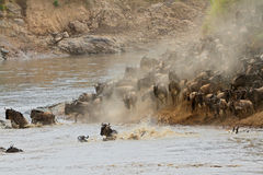 Wildebeest migration Stock Photos