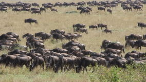 Wildebeest migration stock video