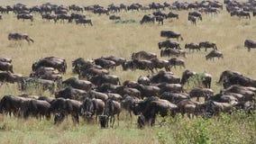 Wildebeest migration stock video
