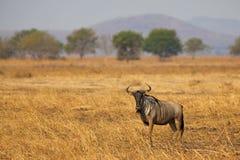 Wildebeest in Mikumi. Wildebeest standing in the savannah in Mikumi, Tanzania Stock Images