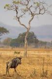 Wildebeest in Mikumi. Wildebeest standing in the savannah in Mikumi, Tanzania Stock Image