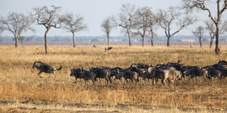 Wildebeest in Mikumi Stock Photo