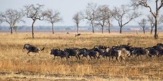 Wildebeest in Mikumi. Wildebeest standing in the savannah in Mikumi, Tanzania Stock Photo