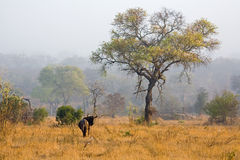 Wildebeest in the mist at dawn. A lone wildebeest int he msit at dawn in South Africa stock image