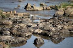 Wildebeest mort dans le fleuve, Tanzanie Image libre de droits