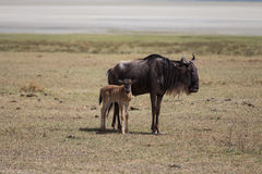 A wildebeest mother with its kid Stock Photo