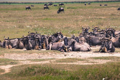 A Wildebeest mother and newly born calf, Ngorongoro Crater, Tanz Stock Image