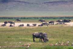 A Wildebeest mother and newly born calf, Ngorongoro Crater, Tanz Royalty Free Stock Photo