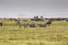 A Wildebeest mother and newly born calf, Ngorongoro Crater, Tanz Stock Photos