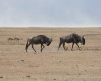 Wildebeest na Afrykańskiej równinie Zdjęcia Stock