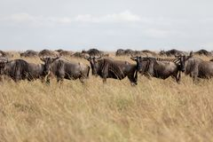 Wildebeest na równinach Masai Mara, Kenja, Afryka fotografia stock