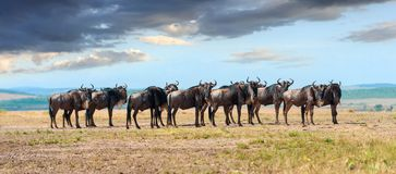 Wildebeest in National park of Africa. Wildebeest in savannah, National park of Kenya, Africa Royalty Free Stock Photos