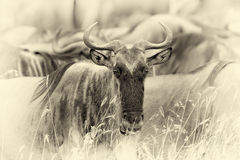 Wildebeest in National park of Africa. Vintage effect Stock Photo