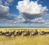 Wildebeest, National park of Kenya, Africa Stock Photography