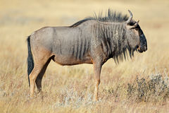 Wildebeest in natural habitat Royalty Free Stock Images