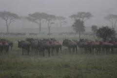 Wildebeest nella pioggia fotografia stock libera da diritti