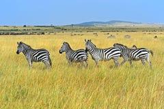 Wildebeest nella savanna Immagine Stock Libera da Diritti