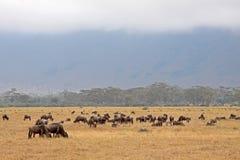 wildebeest ngorongoro стоковое фото