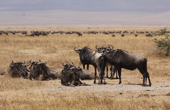 Wildebeest in Ngorongoro Crater Royalty Free Stock Image