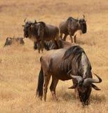 Wildebeest in Ngorongoro Crater Stock Photography