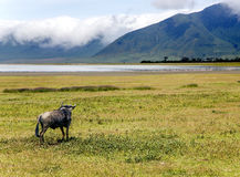 Wildebeest in the Ngorongoro Crater Conservation Area Royalty Free Stock Photos