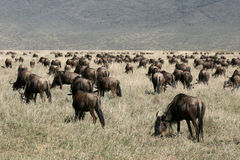 Wildebeest - Ngorongoro Crater, Tanzania, Africa Stock Photos