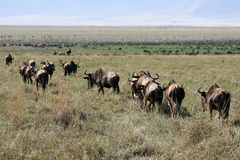 Wildebeest - Ngorongoro Crater, Tanzania, Africa Stock Images