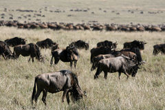 Wildebeest - Ngorongoro Crater, Tanzania, Africa Stock Photography