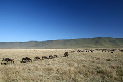 Wildebeest - Ngorongoro Crater, Tanzania, Africa Royalty Free Stock Photos