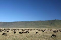 Wildebeest - Ngorongoro Crater, Tanzania, Africa Stock Image