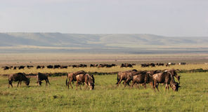 Wildebeest no Masai Mara Imagem de Stock Royalty Free