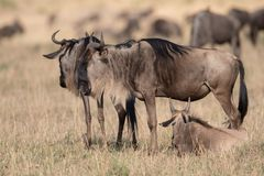 Wildebeest no Masai Mara foto de stock royalty free